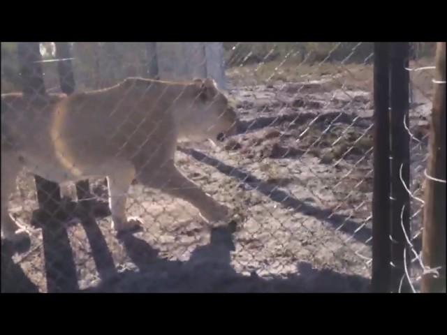 Jade & Zakara move to their new enclosure!