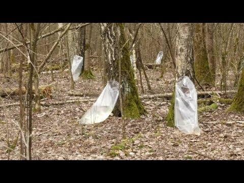 В Лидском лесхозе массово собирают березовый сок