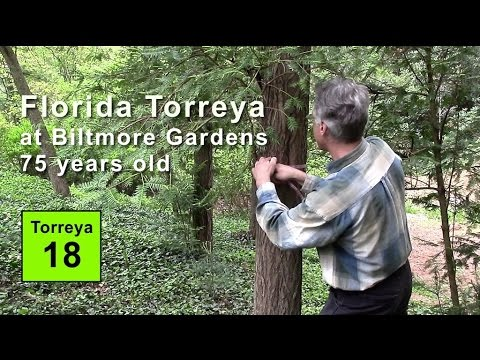 Florida Torreya Grove at Biltmore Gardens NC: 75 years old