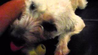 Simpson (border Terrier Mix)
