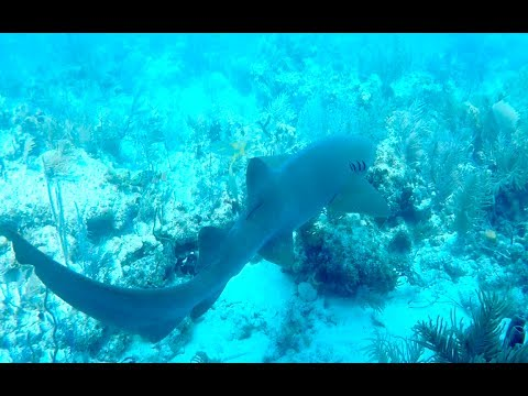 SCUBA DIVING WITH SHARKS IN THE FLORIDA KEYS