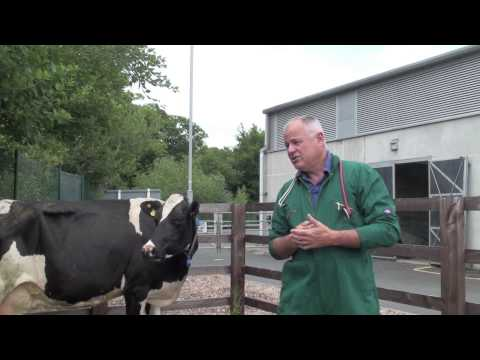 Heat stress in cattle