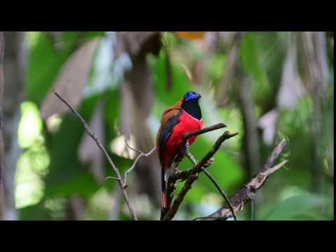 紅枕咬鵑 ( Red-Naped Trogon )