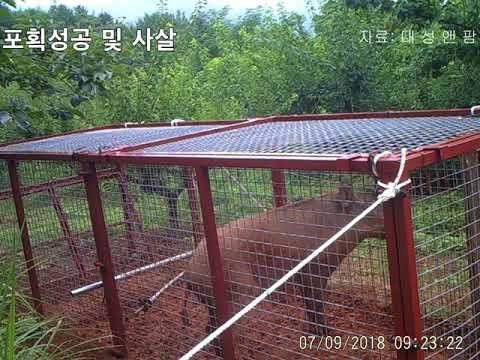 멧돼지포획 과정  최초공개. 010-9101-2841