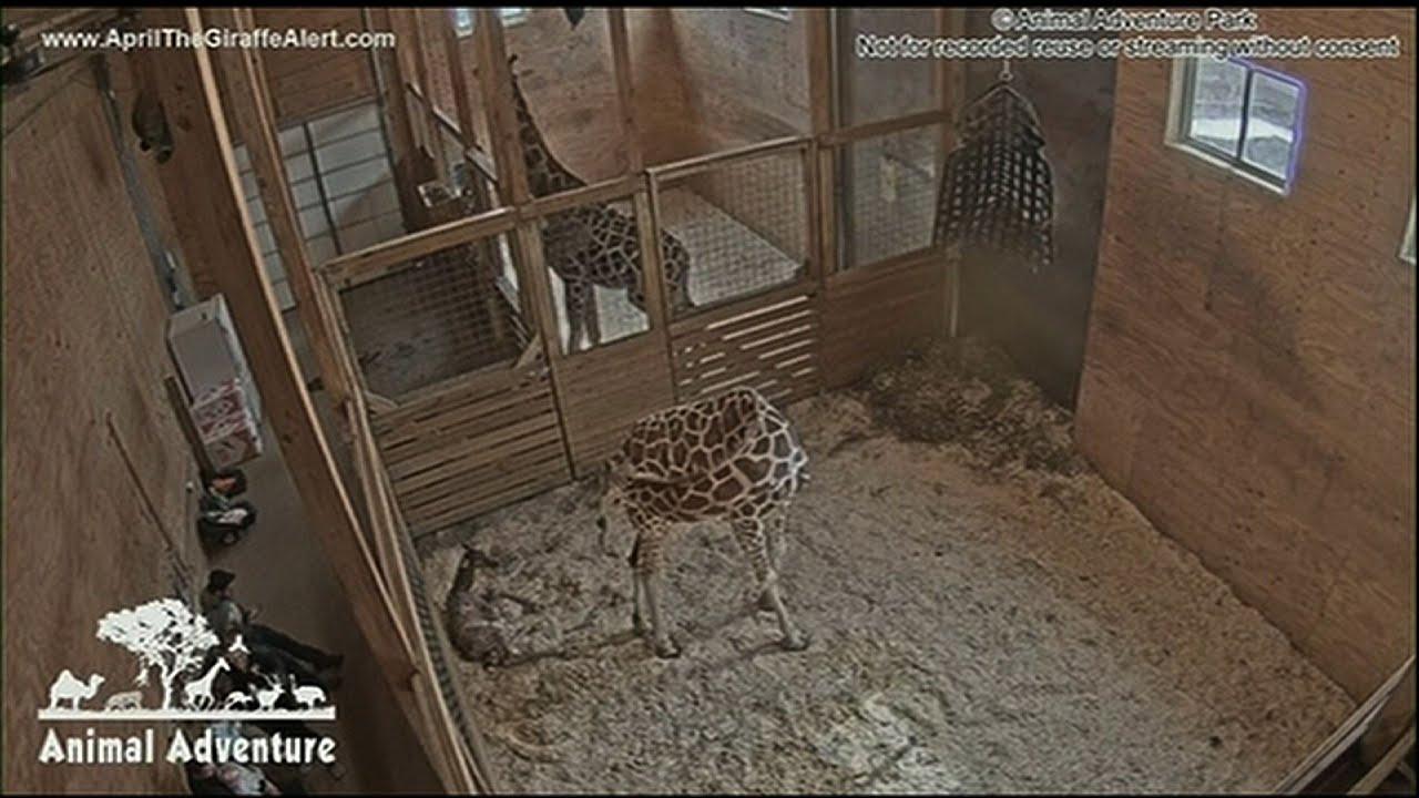 April brachte die Giraffe ihr Kalb + video