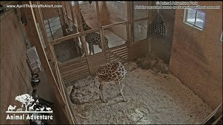 april-the-giraffe-delivered-her-calf