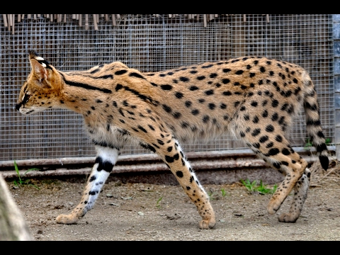 Savannah Cat - All About Savannah Cats