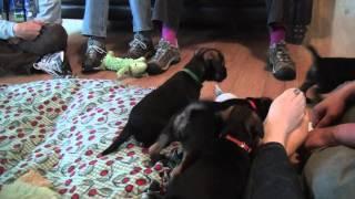 Kilcreggan Border Terrier Puppies - 8 Weeks