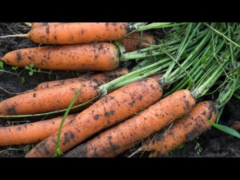 Как правильно сеять морковь