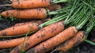 видео Как правильно и когда сажать морковь весной