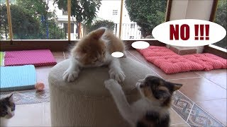 Kitten doesn't let any other siblings climb the top !! (1 Cat against 4!!)