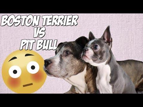 BOSTON TERRIER VS PITBULL   September BarkBox 2018