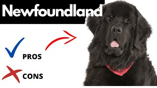 Newfoundland Dog Pros And Cons | The Good AND The Bad!!
