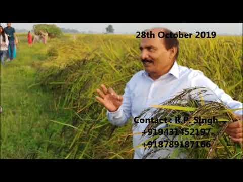 organic-black-rice-farming