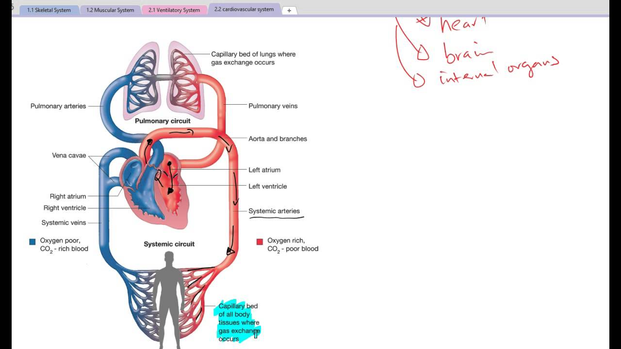 225 pulmonary systemic circulation youtube ccuart Image collections