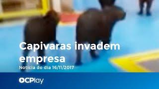 カピバラたちが工場を抜き打ち視察?ゆっくりとした足取りでまったりと工場内を視察するというハプニング(ブラジル)