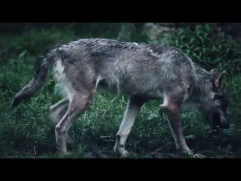L appel nocturne du loup au Parc de Sainte-Croix