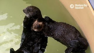 Selka The Sea Otter Raises Her First Rescued Pup!