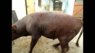 Закололи бычка \Самое свежее мясо!!!
