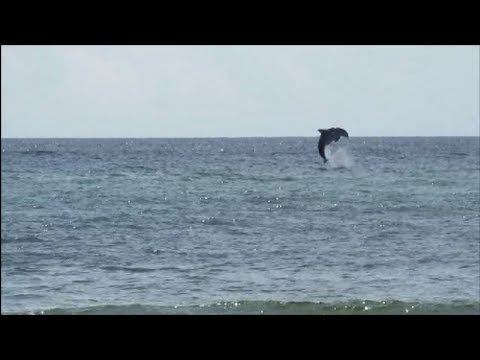 73dd55743e9d Wild Dolphin Caught On Camera Doing Flips Off The Panama City Beach  Shoreline