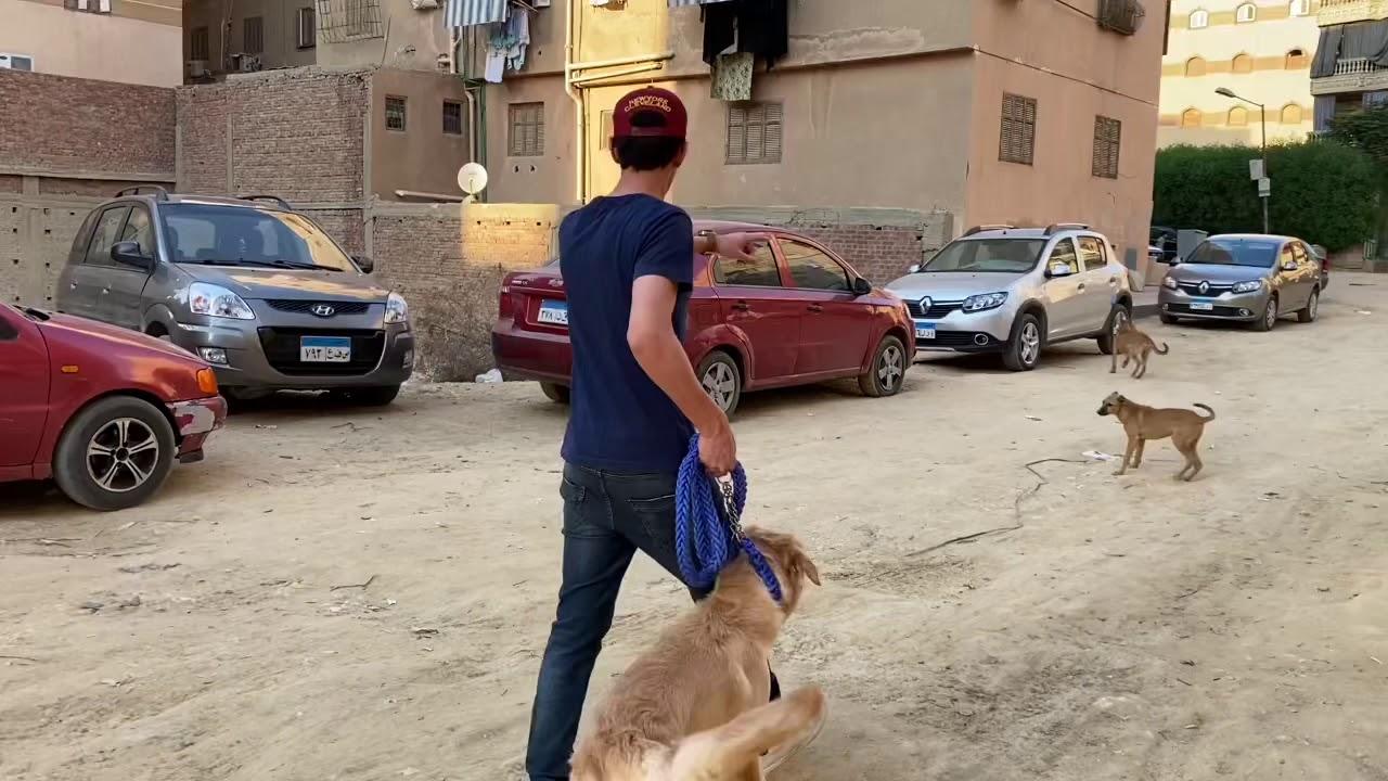 المشي مع الكلب في شارع مليان كلاب / حلقة تعليمية
