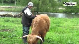 VIDEO. Oh la vache ! Les highland entretiennent les marais e