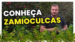 Zamioculca é uma Linda planta para se ter Dentro de Casa
