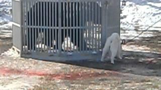 2012..2.5撮影 北海道犬保存会 白老支部展 遙楓・広尾北進荘 7.4点.