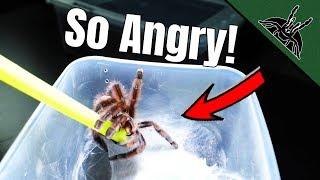 got-5-more-tarantulas