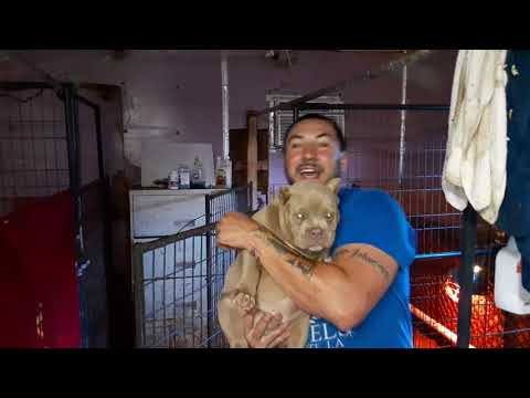American Bully Breeder And Kennel