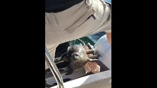 Seal jumps on boat to get away from Killer whales.CRAZY!!
