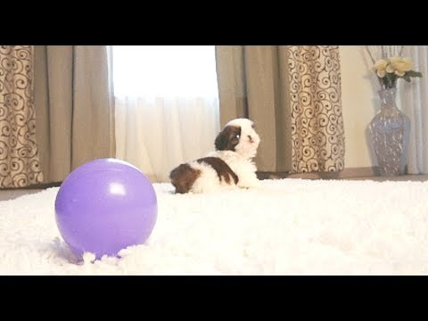 Cute Puppy Playing With Ball