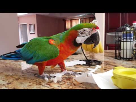 My Harlequin Macaw Rocky: Tearing up paper towels!