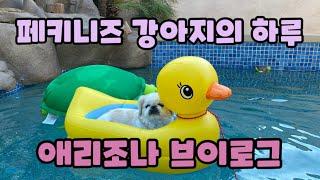 Pekingese Dog Chip's Vlog | 페키…