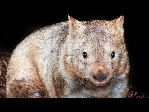 Bum biting: wombat sex lives revealed