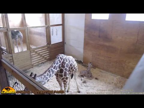 Tuesday Giraffe Cam (5/9/17)