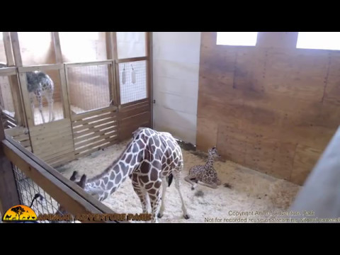 Thumbnail: Tuesday Giraffe Cam (5/9/17)