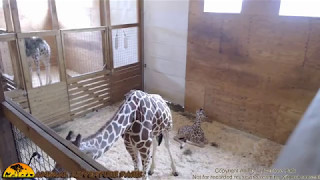 Tuesday Giraffe Cam (5/9/17) thumbnail