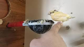 Птенцы канареек (мы уже большие)))