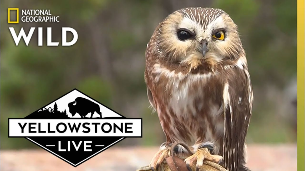 Raptors in West Yellowstone | Yellowstone Live