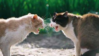драки котов мега угарная подборка (cat fight)