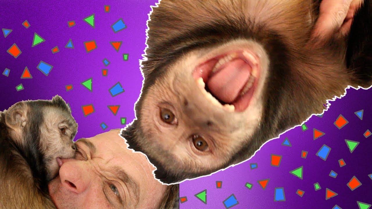 capuchin-monkey-pet-human-fun-time-cuteness-overload