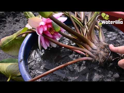 Как вырастить водяную лилию в домашних условиях