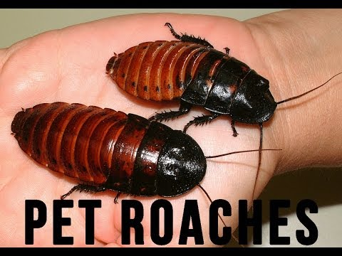 Hissing Pet Cockroaches - Newski's Commune in Johannesburg, S Africa