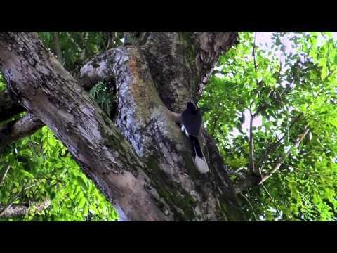 Oriental pied-hornbill Feeding its Chick @ Changi Village