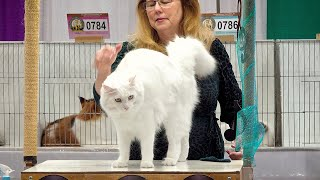 CFA International Show 2019  Maine Coon alters