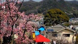 福山田尻町にある、あんずの里・杏子祭りに行ってまいりました! 満開に...