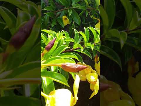 Hawaii Travel, tropical garden, Yellow Bell flower, Flower Garden