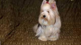 Biewer Yorkshire Terrier - Labanc-völgyi Kennel