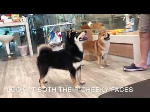 Shiba Inu Show Dogs